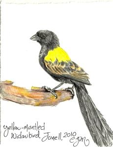 2010.6.11 Yellow Mantled Widowbird