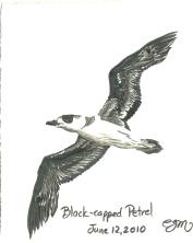 2010.6.12 Black Capped Petrel