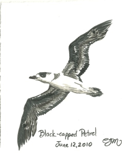 2010.6.12 Black Capped Petrel