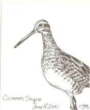2010.6.18 Common Snipe