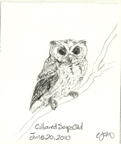 2010.6.20 Collared Scops Owl