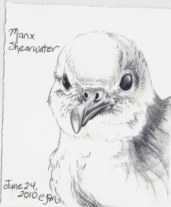 2010.6.24 Manx Shearwater