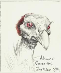 2010.6.28 Vulturine Guinea Fowl