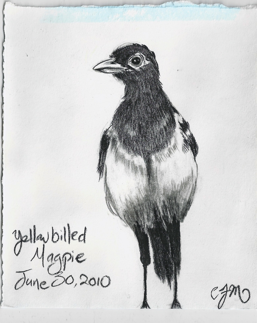 2010.6.30 Yellow Billed Magpie