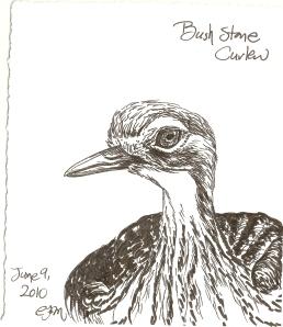 2010.6.9 Bush Stone Curlew