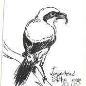 2010.7.1 Loggerhead Shrike