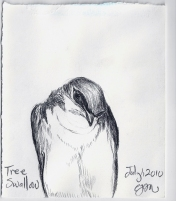 2010.7.1 Tree Swallow