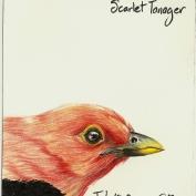 2010.7.10 Scarlet Tanager