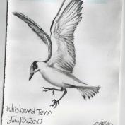 2010.7.13 Whiskered Tern