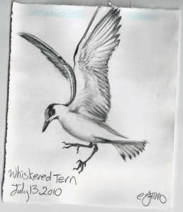 2010.7.13 Whiskered Tern