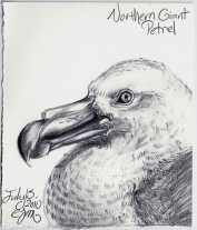 2010.7.15 Northern Giant Petrel