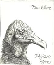 2010.7.18 Black Vulture