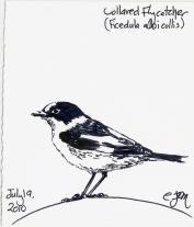 2010.7.19 Collared Flycatcher