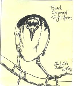 2010.7.31 Black Crowned Night Heron