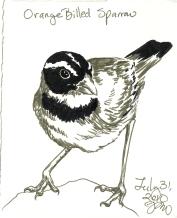 2010.7.31 Orange Billed Sparrow