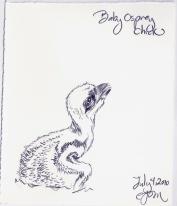 2010.7.4 Baby Osprey Chick