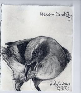 2010.7.5 Western ScrubJay