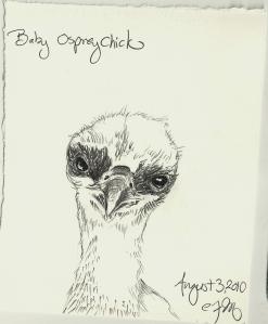 2010.8.3 Baby Osprey Chick